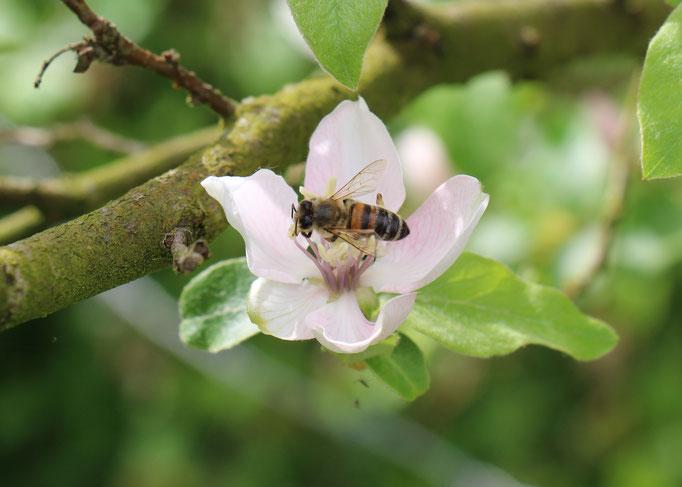 Plante Mellifère - Pommier - Miel de fruitiers