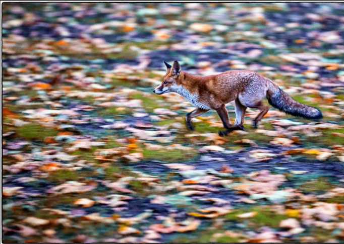 Hunting Fox, London, UK 2016