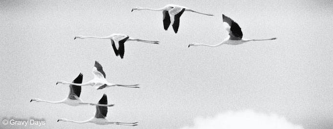 Flamingos Fly-by, 2015