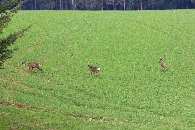 Rehe im Rems-Murr-Kreis im Frühling 2021 in der Nähe von Welzheim, bei Mannholz im Schwäbisch-Fränkischen-Wald. Reh-Foto bzw Jungwild beim grasen am Wald ist auf der Website von Fotograf Markus Metzger zu sehen, www.markus1.de