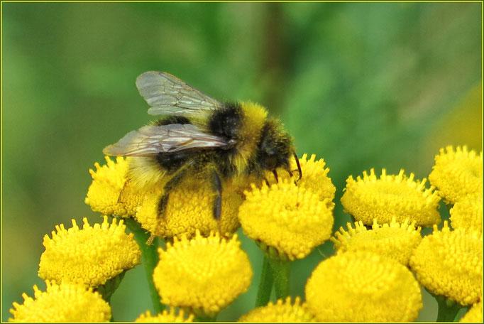 Hummel auf Blüten die extrem riechen .... nicht so mein Geschmack ....