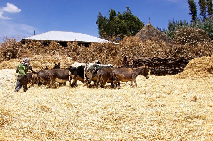 ganz Traditionell wird hier der Weizen vom Spreu getrennt.