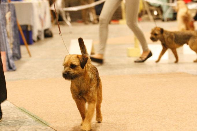 Border Terrier laufen Ihre Runde