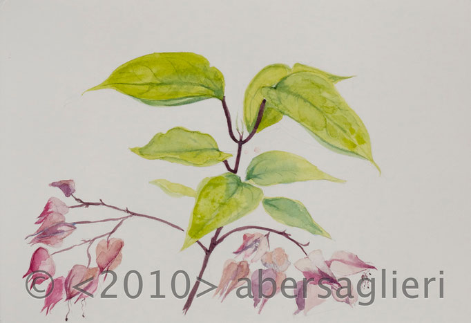 "Clerdendrum thomsoniae (fall), watercolor on paper, 7""x9"", 2010"