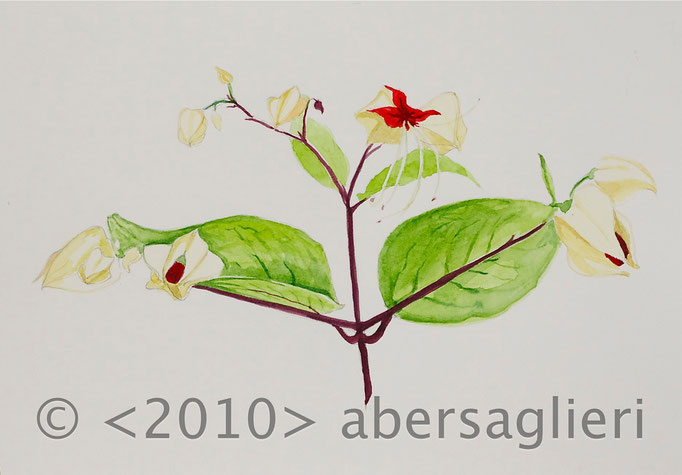"Clerdendrum thomsoniae (summer), watercolor on paper, 7""x9"", 2010"