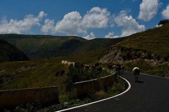 De koeien op wandel naar de site ... en wij volgen