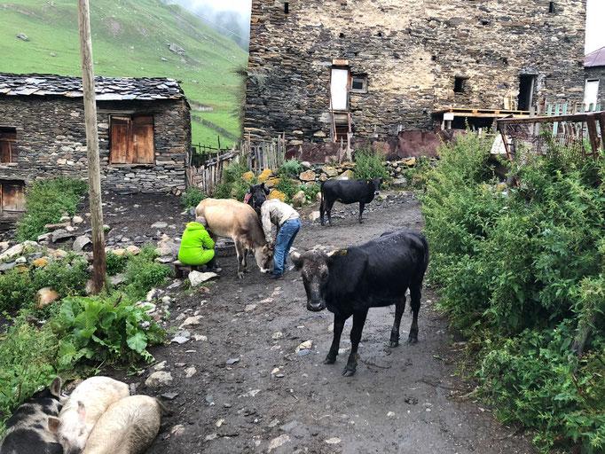 Koeien worden nog op straat gemolken