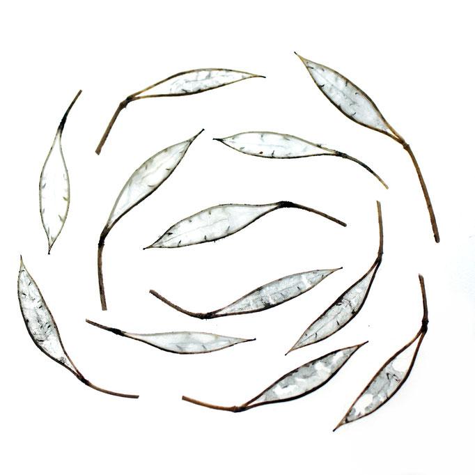 Ackerhellkraut