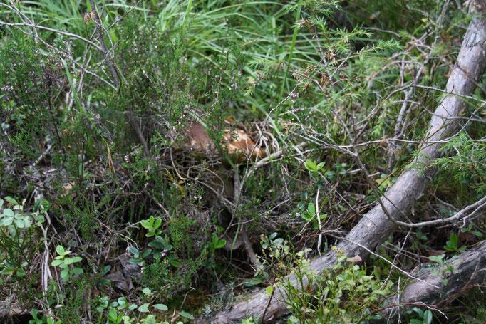 Rotkäppchen im Versteck