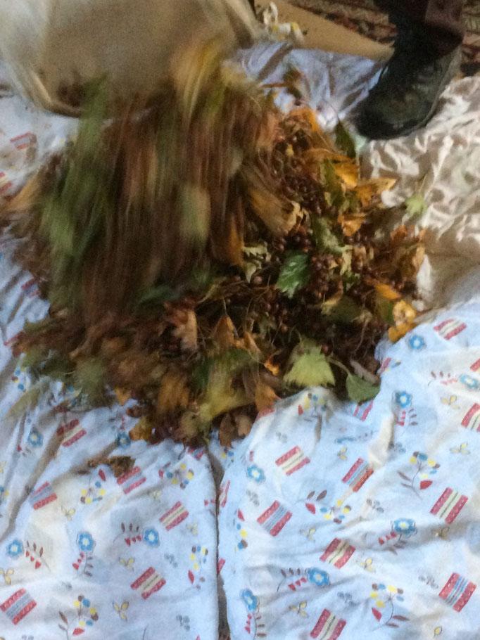 frische Ernte kommt auf Tücher zum Nachreifen (Ausruhen)