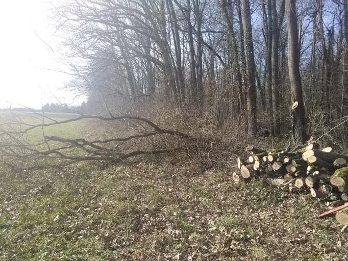 le vent a couche des arbres