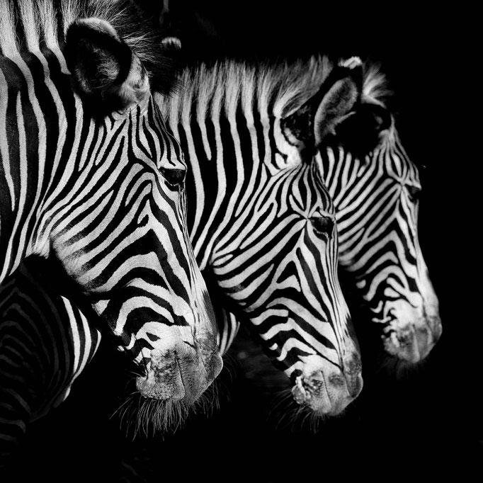 Tierfotografie - Zebra