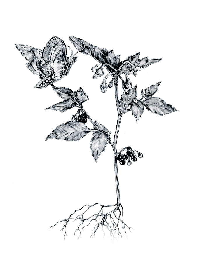 'Black nightshade' illustration for my book 'Nachtboek'