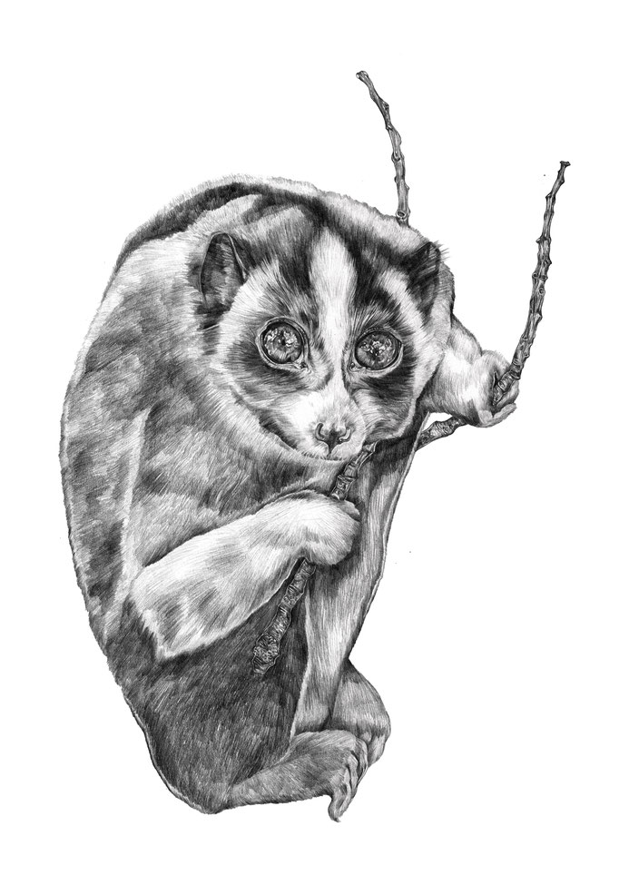 'Slow loris'illustration for my book 'Nachtboek'
