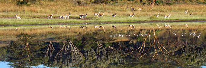 Thomson's Gazelle with acacia and euphorbia trees reflecting in Lake Elmenteita