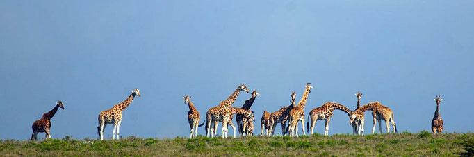 Rothschild's Giraffe on a hill