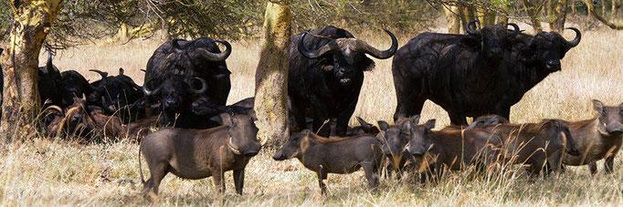 Warthogs and Cape Buffalo
