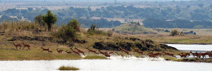 Impala crossing Lake Elmenteita