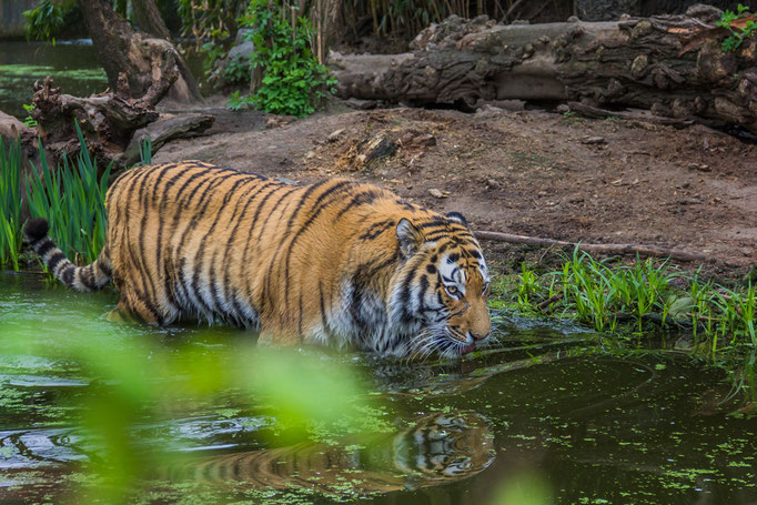 Tiger Duisburg Zoo 2013