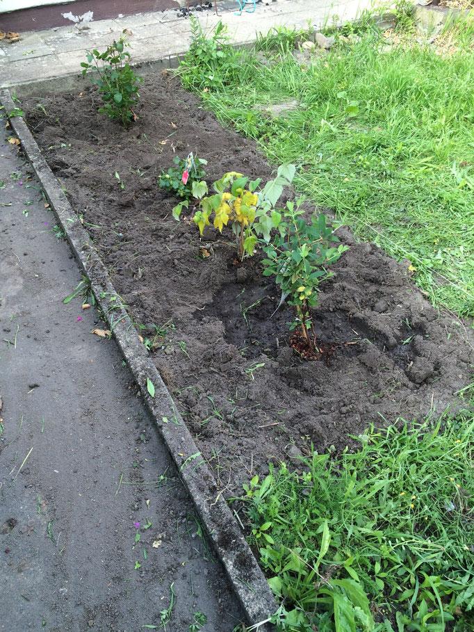 1x3m Unkraut beseitigen, um Platz zu schaffen für drei Beeren-Pflanzen und eine Rose