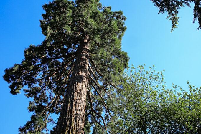 """Mammutbaum in der Nähe von """"Hotel-Pension Weinberg"""""""