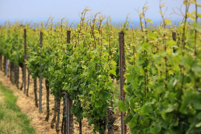 Weinrebe bei Gleisweiler