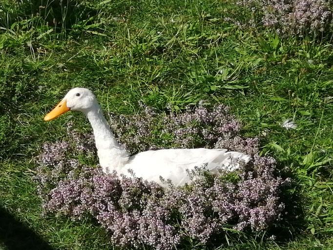 Unsere Ente im wilden Thymian