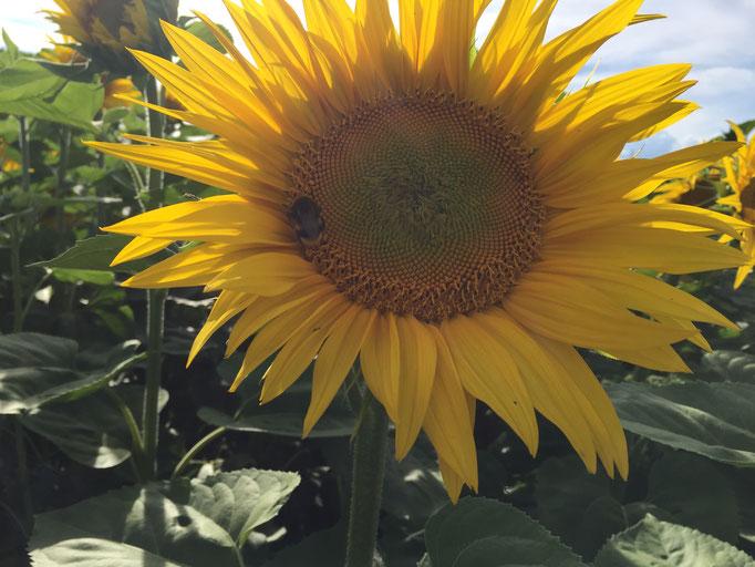 Sonnenblume mit Humbeli
