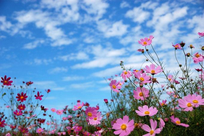 ウロコ雲と秋桜