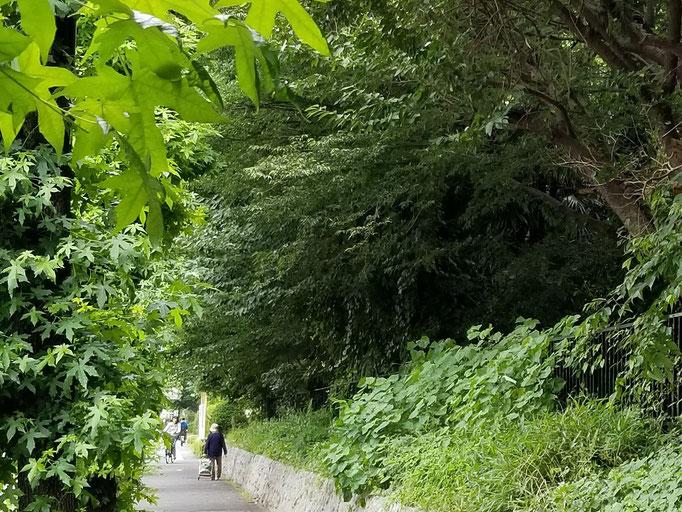 2019/07緑陰の道 東京医療センター脇歩道 by @&@