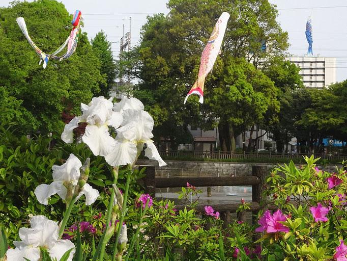 2019/05こいのぼり(碑文谷公園) by @&@
