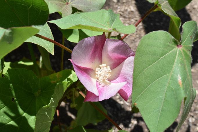 2018/08ピンクの棉の花(区庁舎屋上目黒十五庭)