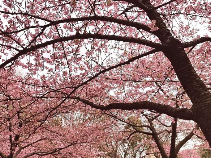 林試の森公園 河津桜 by @&@