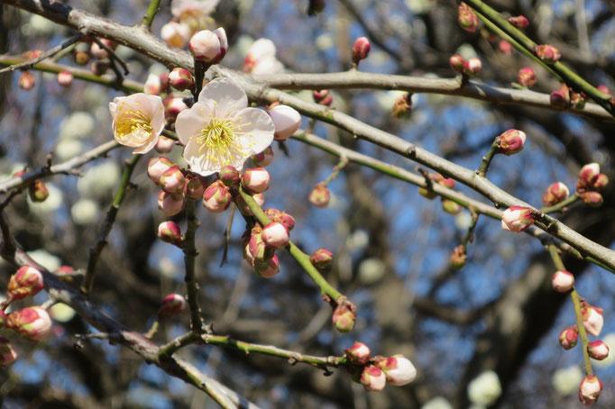 菅刈公園の梅