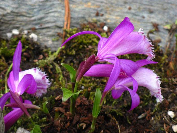 Pleione limprechtii Tibet Orchidee