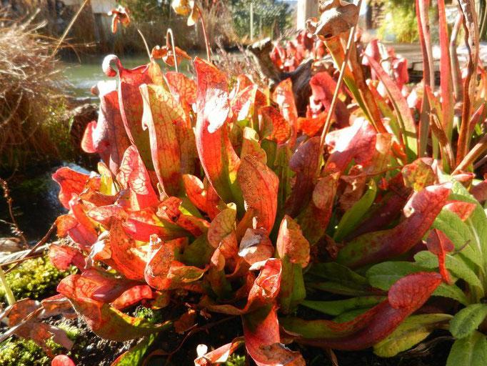 Sarracenia purpurea  Schlauchpflanze