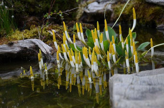 Orontium aquaticum Goldkeule