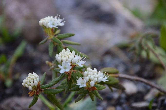 Rhododendron tomentosum sumpfporst