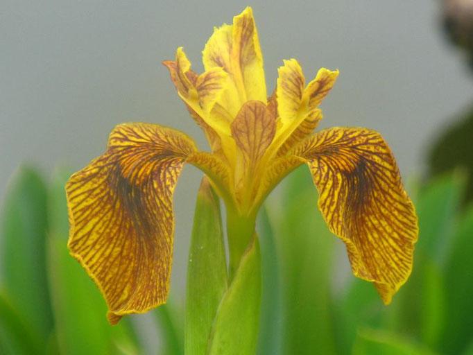 Iris berliner tiger