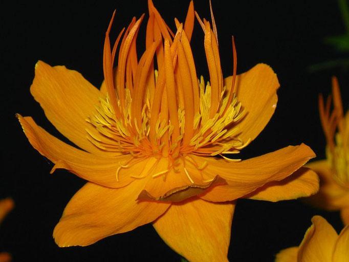 Trollius  Alabaster Golden Queen orange