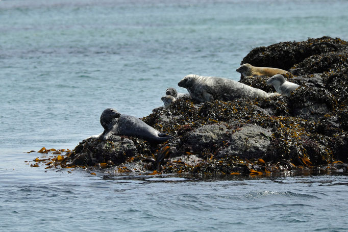 Kegelrobben, Isle of Mull