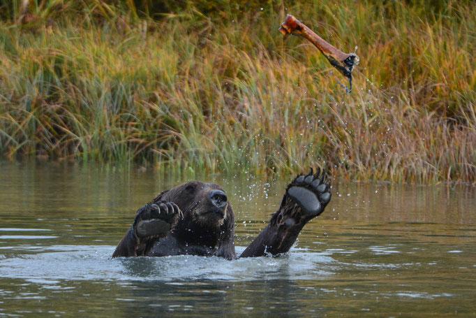 Braunbär (Alaska Wildlife Conservation Center)