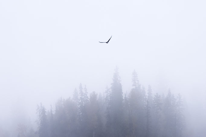 Adler im Nebel, North Thompson River