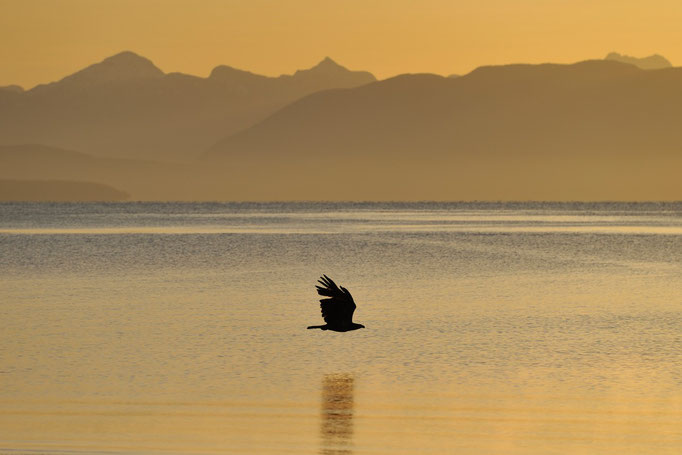 Seeadler im Sonnenaufgang, Vancouver Island