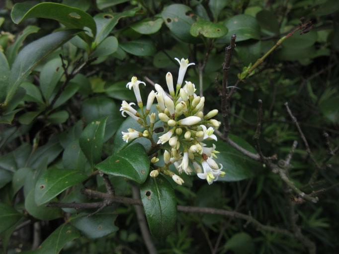 オオバイボタの花