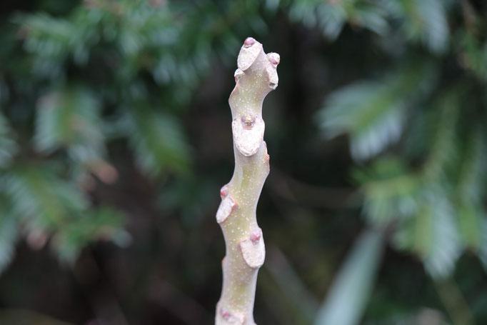 ニワウルシの芽