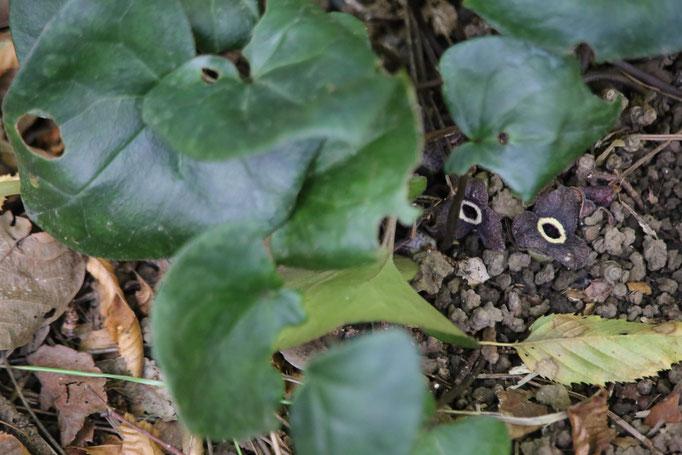 カンアオイの花