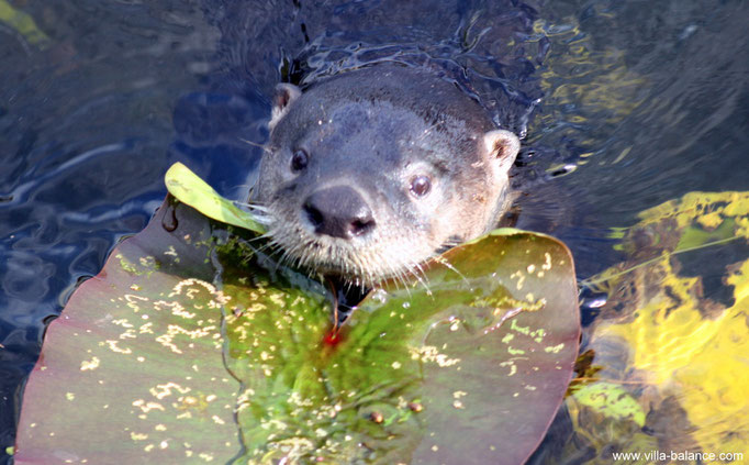 Unser süßer Haus-Otter !