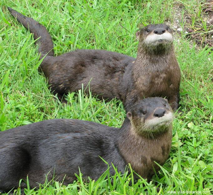 Der Otter-Nachwuchs !