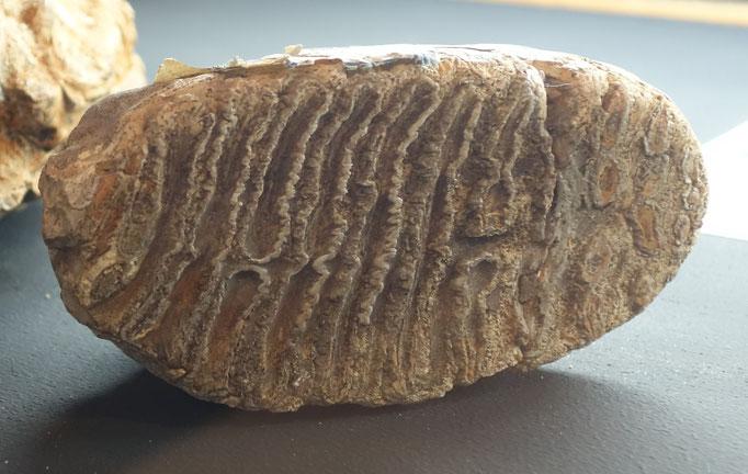 Molaire de mammouth découverte par Boucher-de-Perthes / Photo musée
